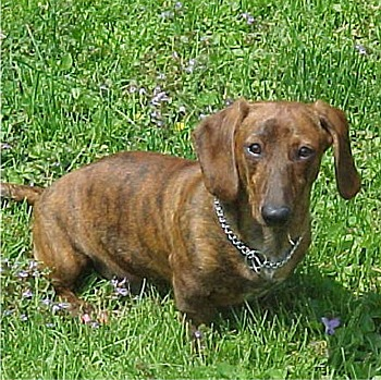 Dachshund Brindle Color